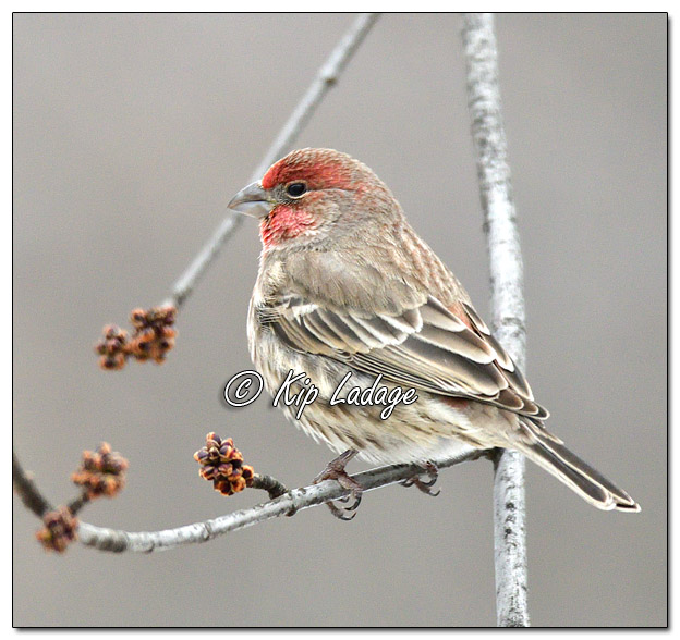 House Finch in Tree - Image 537797 - (© Kip Ladage)