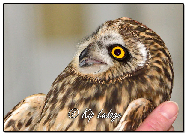 Injured Short-eared Owl - Image 538052 (© Kip Ladage)