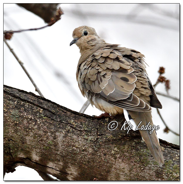 Mourning Dove in Maple Tree - Image 538054 (© Kip Ladage)