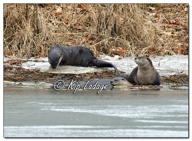 River Otters at George Wyth State Park - Image 540737 © Kip Ladage)