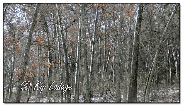 Snowy Timber at Sweet Marsh - Image 537328 - (© Kip Ladage)