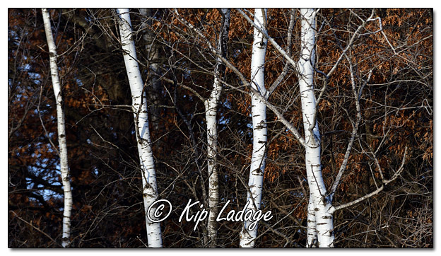 White Birch Trees in Autumn - Image 538008 (© Kip Ladage)