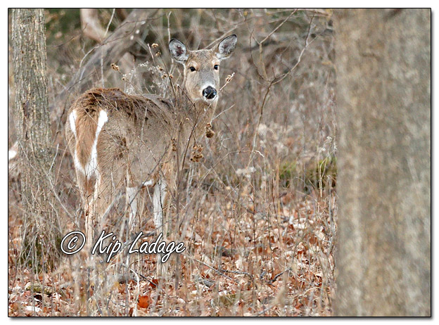 Whitetail Deer (Doe) in Timber - Image 539248 (© Kip Ladage)