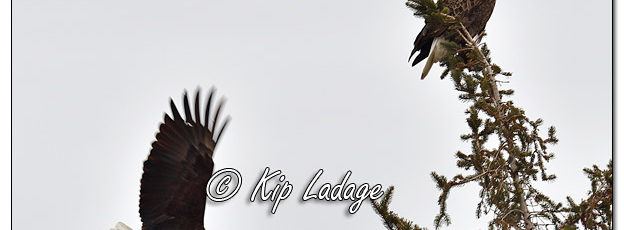 Adult Bald Eagles in Evergreen Tree - Image 541552 (© Kip Ladage)