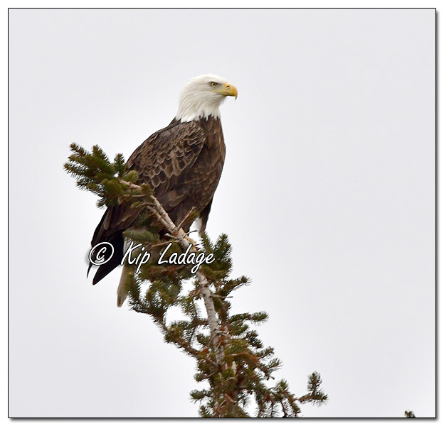 Adult Bald Eagle in Evergreen Tree - Image 541564 (© Kip Ladage)