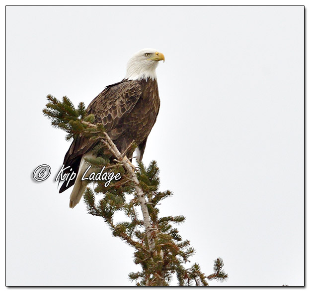 Adult Bald Eagle in Evergreen Tree - Image 541576 (© Kip Ladage)