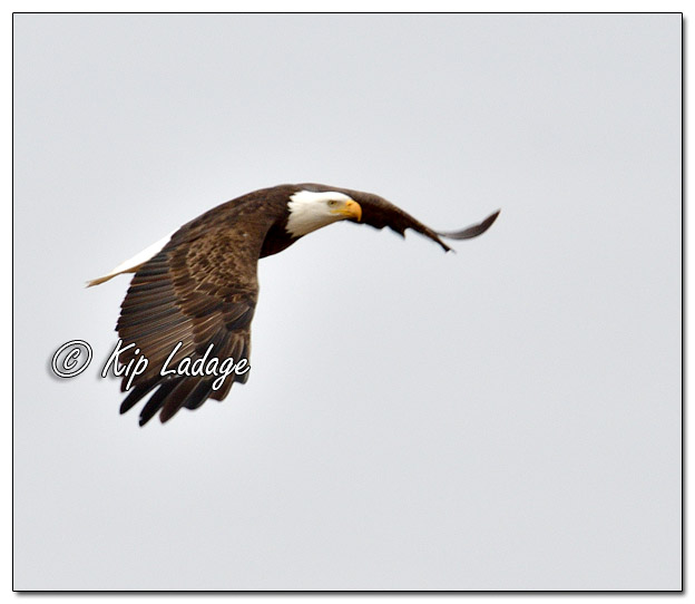 Adult Bald Eagle in Flight - Image 541535 (© Kip Ladage)