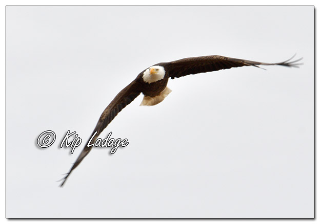 Adult Bald Eagle in Flight - Image 541539 (© Kip Ladage)