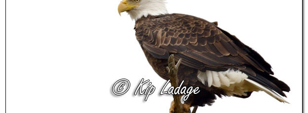 Adult Bald Eagle in Tree - Image 541138 © Kip Ladage)