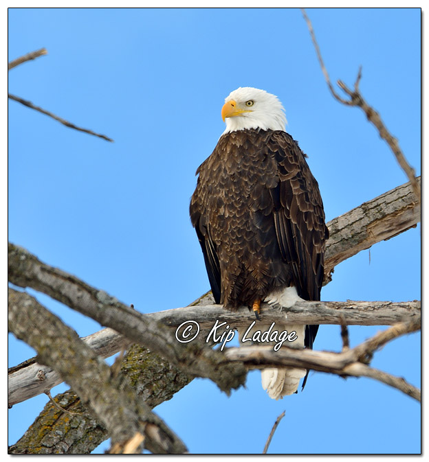 Adult Bald Eagle in Tree - Image 542313 (© Kip Ladage)