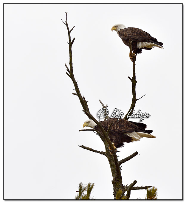 Adult Bald Eagle in Tree - Image 541163 © Kip Ladage)