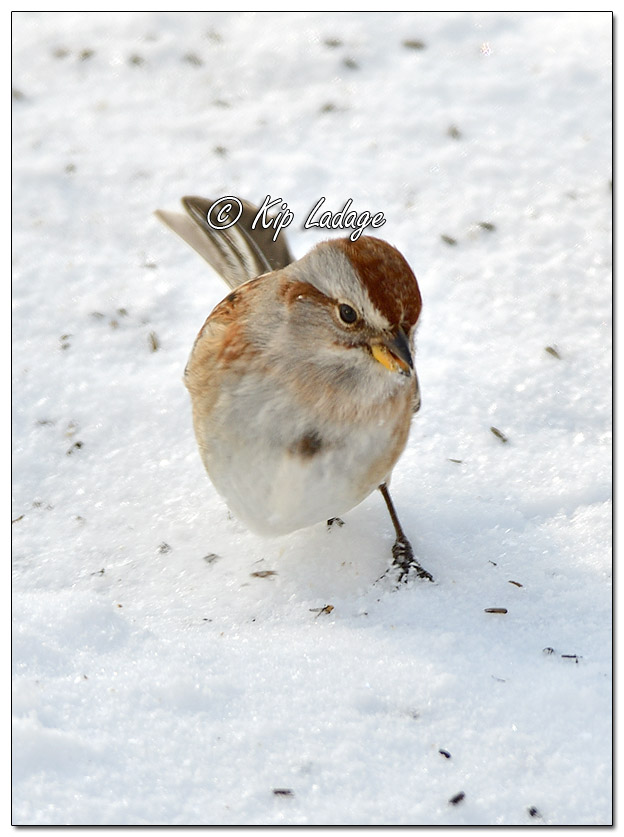 American Tree Sparrow in Snow (543437)