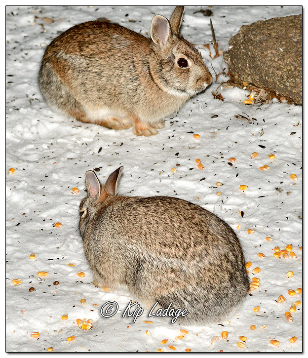 Cottontail Rabbits at Night - Image 540951 © Kip Ladage)
