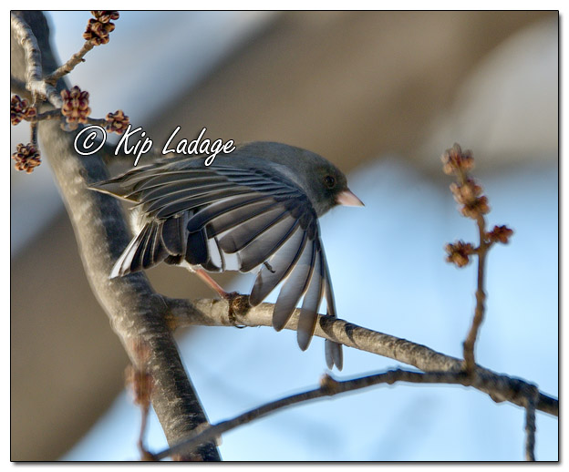 Dark-eyed Junco Stretching - Image 542825 (© Kip Ladage)
