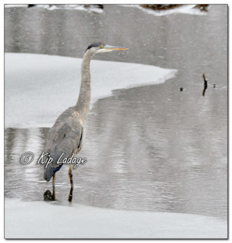 Great Blue Heron in Snow on Shell Rock River - Image 541657 (© Kip Ladage)