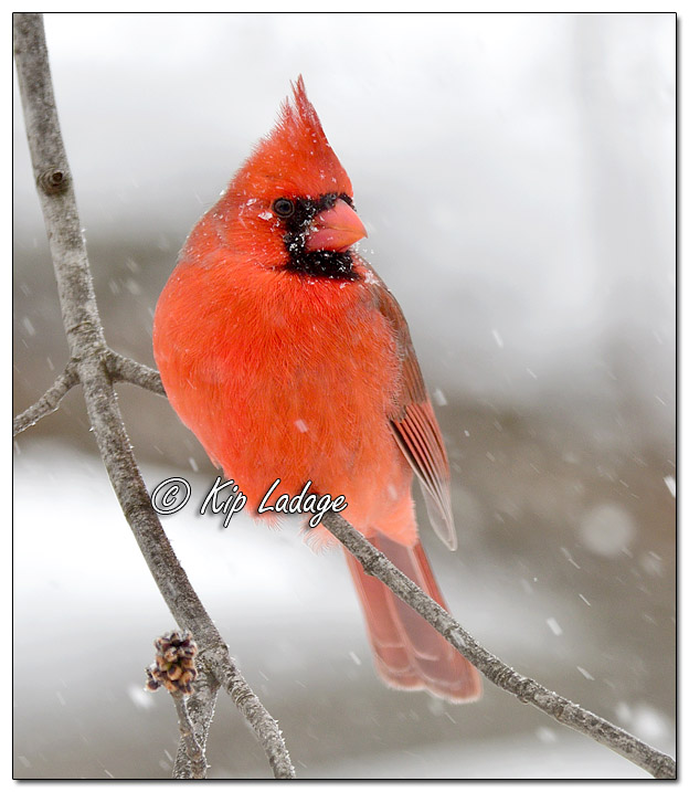 Male Northern Cardinal in Snow - Image 543138 (© Kip Ladage)
