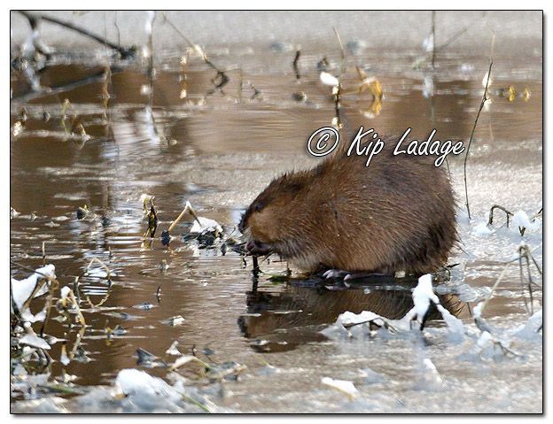 Muskrat on Ice - Image 541832 (© Kip Ladage)