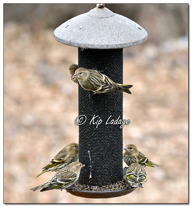 Pine Siskins at Thistle Feeder - Image 541895 (© Kip Ladage)