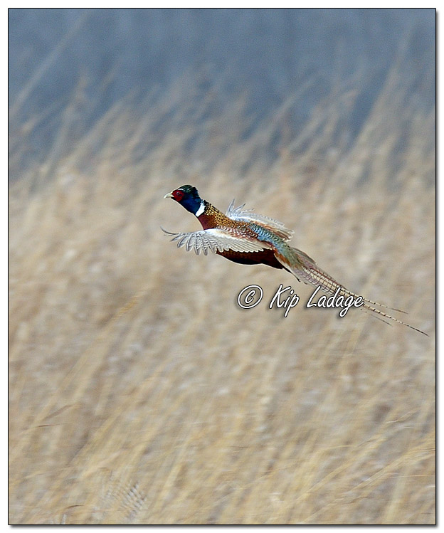 Rooster Ring-necked Pheasant in Flight - Image 542150 (© Kip Ladage)
