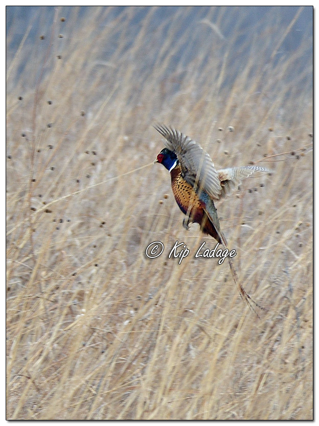 Rooster Ring-necked Pheasant in Flight - Image 542152 (© Kip Ladage)