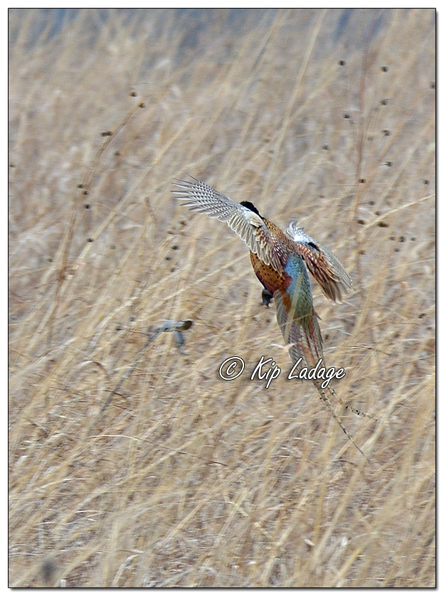 Rooster Ring-necked Pheasant in Flight - Image 542154 (© Kip Ladage)