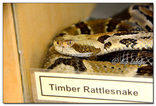 Timber Rattlesnake at Quarry Hill Nature Center - Image 541374 (© Kip Ladage)