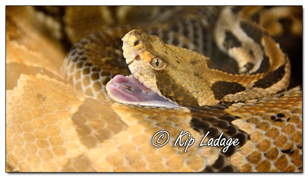 Timber Rattlesnake at Quarry Hill Nature Center - Image 541325 (© Kip Ladage)