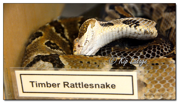 Timber Rattlesnake at Quarry Hill Nature Center - Image 541342 (© Kip Ladage)