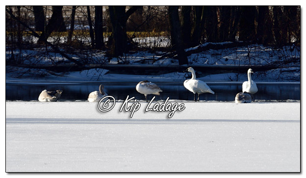 Trumpeter Swans on Wapsipinicon River in Frederika - Image 541048 © Kip Ladage)