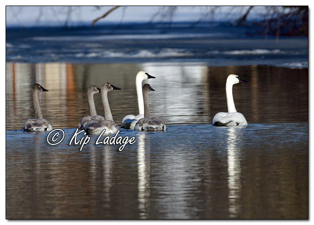 Trumpeter Swans on Wapsipinicon River in Frederika - Image 541060 © Kip Ladage)