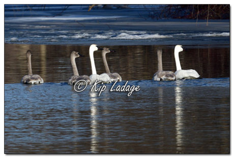 Trumpeter Swans on Wapsipinicon River in Frederika - Image 541099 © Kip Ladage)