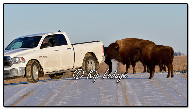 American Bison Licking Salt Off Vehicle at Neal Smith National Wildlife Refuge - Image 544580 (© Kip Ladage)