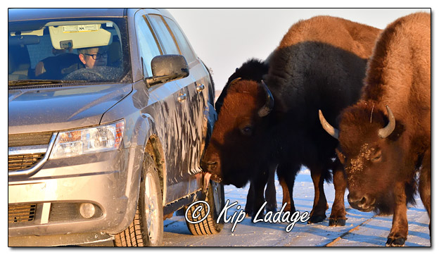 American Bison Licking Salt Off Vehicle at Neal Smith National Wildlife Refuge - Image 544635 (© Kip Ladage)
