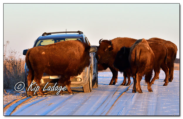 American Bison Licking Salt Off Vehicle at Neal Smith National Wildlife Refuge - Image 544672 (© Kip Ladage)