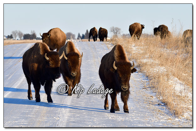 American Bison at Neal Smith National Wildlife Refuge - Image 544534 (© Kip Ladage)