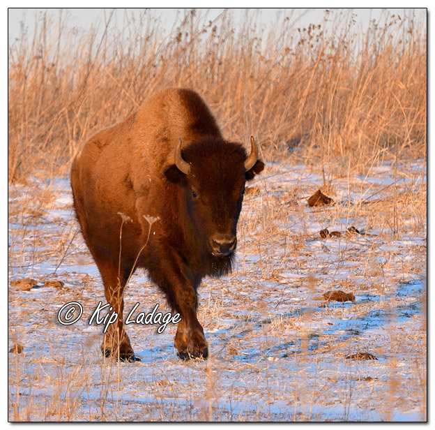 American Bison at Neal Smith National Wildlife Refuge - Image 544557 (© Kip Ladage)