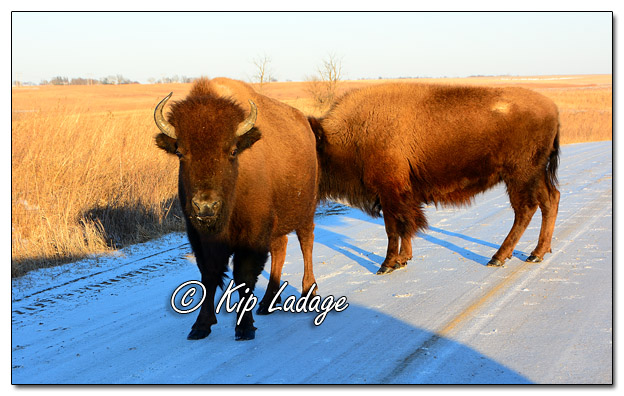 American Bison at Neal Smith National Wildlife Refuge - Image 544570 (© Kip Ladage)