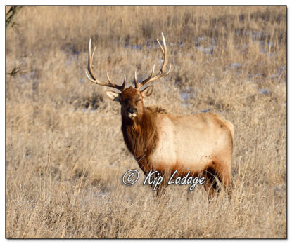 Bull Elk at Neal Smith National Wildlife Refuge - Image 544801 (© Kip Ladage)