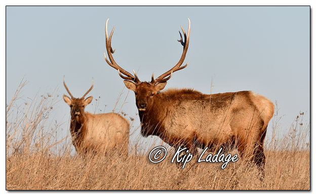 Bull Elk at Neal Smith National Wildlife Refuge - Image 544832 (© Kip Ladage)