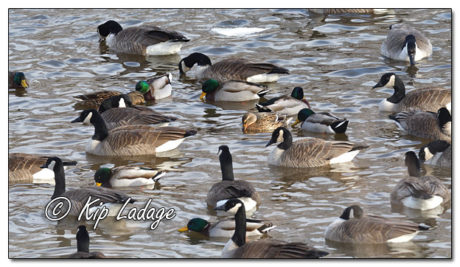 Cold Waterfowl on Cedar River - Image 544528 (© Kip Ladage)