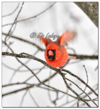 Male Northern Cardinal in Snow - Image 545382 (© Kip Ladage)