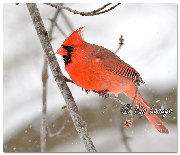 Male Northern Cardinal in Snow - Image 545396 (© Kip Ladage)