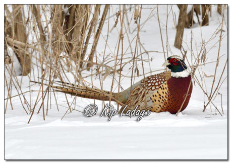 Rooster Ring-necked Pheasant in Winter - Image 545782 (© Kip Ladage)