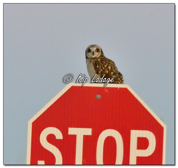 Short-eared Owl on Stop Sign at Neal Smith National Wildlife Refuge - Image 545298 (© Kip Ladage)