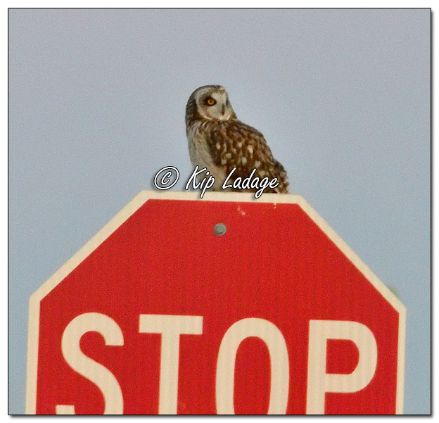 Short-eared Owl on Stop Sign at Neal Smith National Wildlife Refuge - Image 545306 (© Kip Ladage)