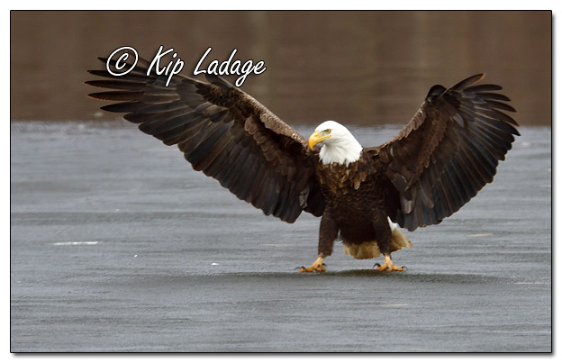 Adult Bald Eagle on Ice - Image 553909 (© Kip Ladage)