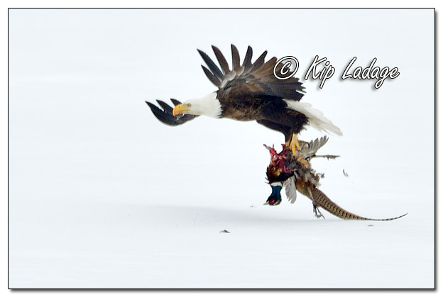 Adult Bald Eagle With Dead Rooster Ring-necked Pheasant - Image 547941 (© Kip Ladage)