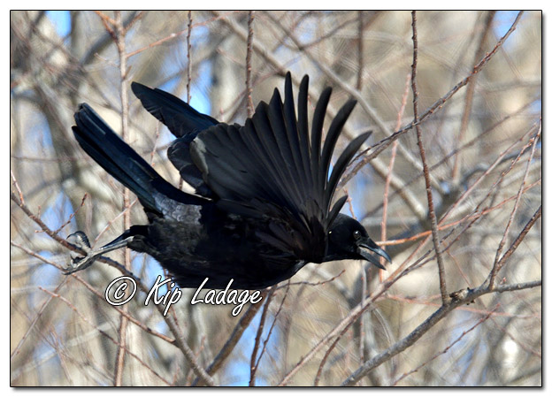 American Crow Taking Flight - Image 548278 (© Kip Ladage)