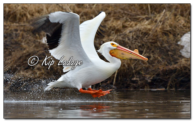 American White Pelican at Sweet Marsh - Image 551709 (© Kip Ladage)