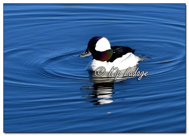 Bufflehead at Sweet Marsh - Image 551064 (© Kip Ladage)
